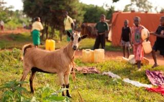 Africa - Goats