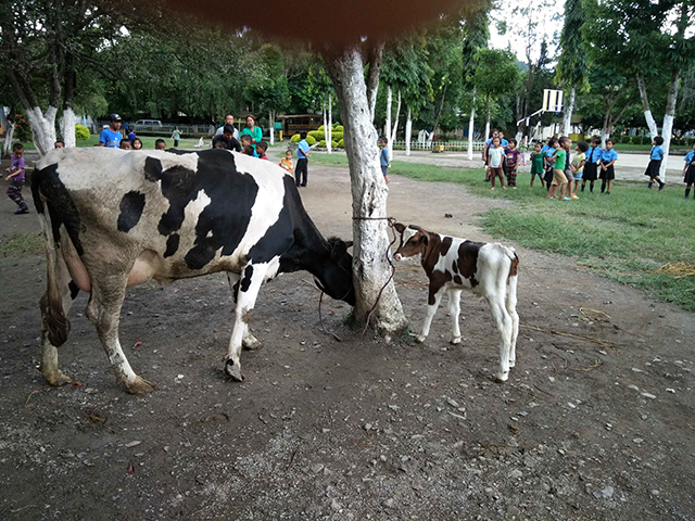 gilgal-cows