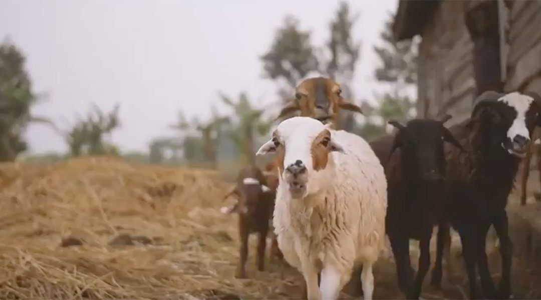 Hope for Tomorrow: How Goats Transform Lives in Rwanda