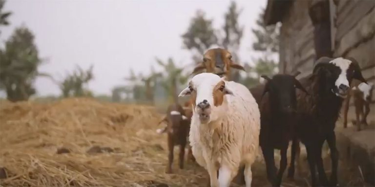 Preview thumbnail for the article: Hope for Tomorrow: How Goats Transform Lives in Rwanda