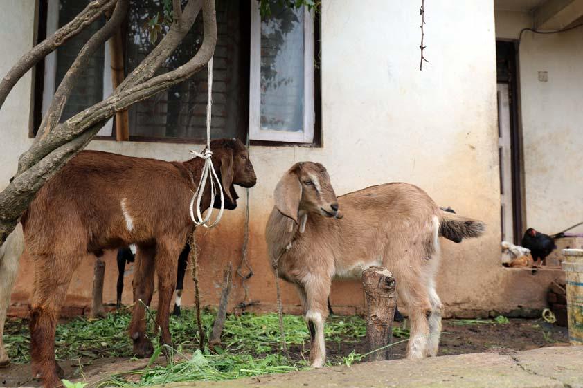 goats-lp-prod-img-2