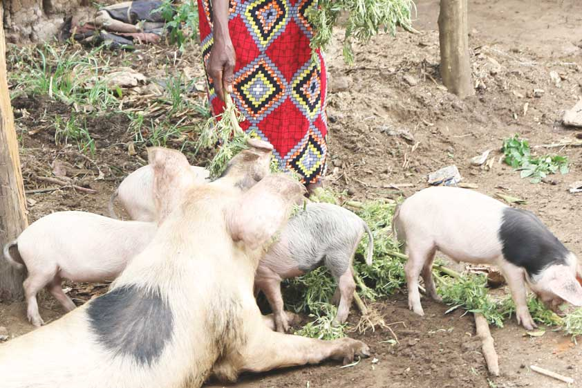 pigs-lp-prod-img-2