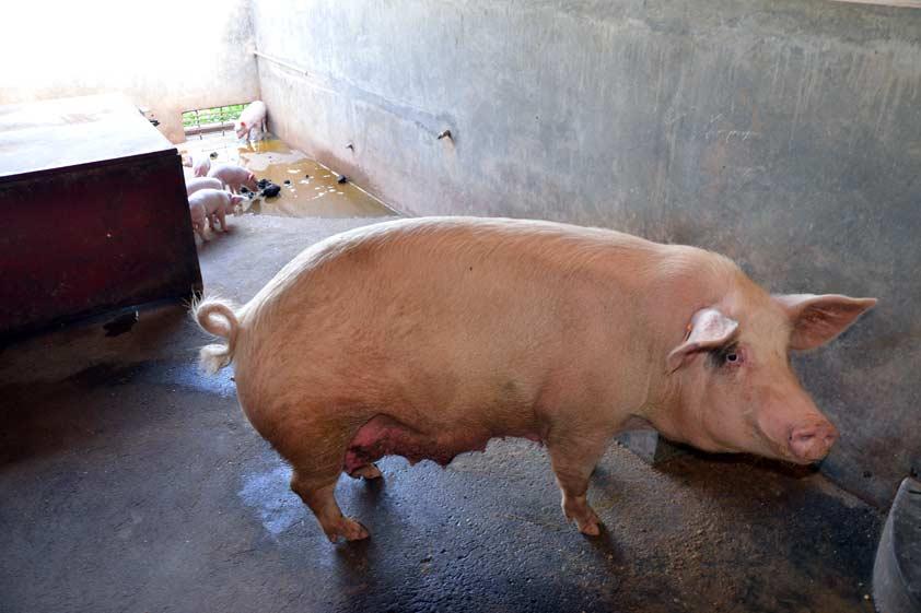 pigs-lp-prod-img-3