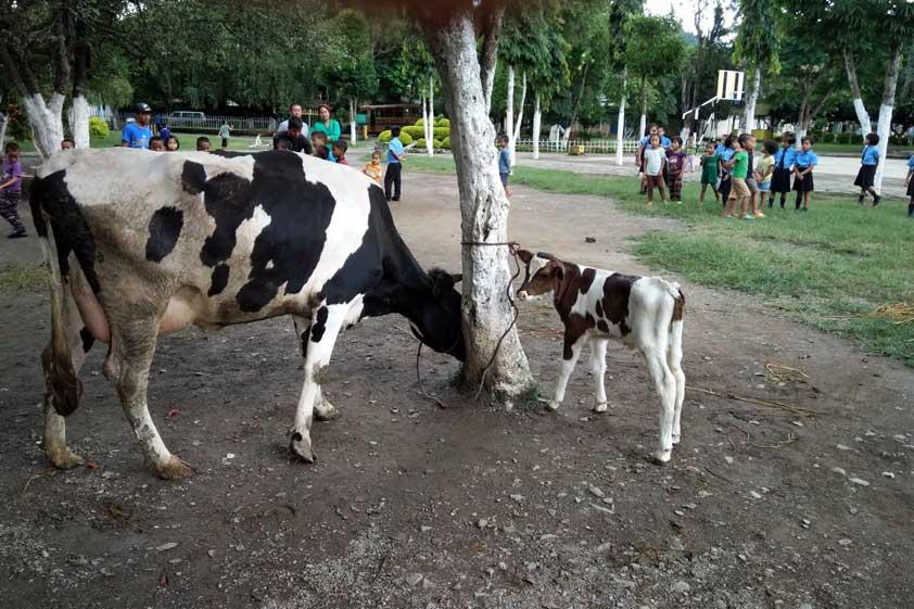 cows-lp-prod-img-5