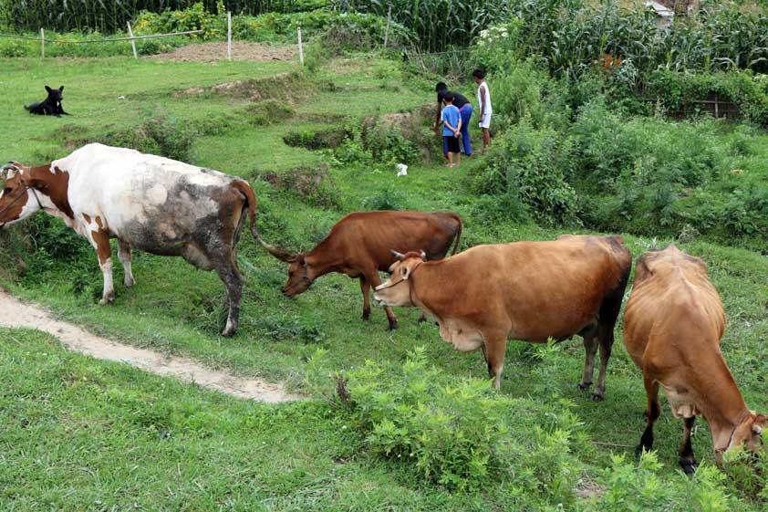 cows-lp-prod-img-6